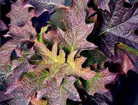 Hortensja dębolistna 'Black Porch' mocno purpurowa JESIENĄ