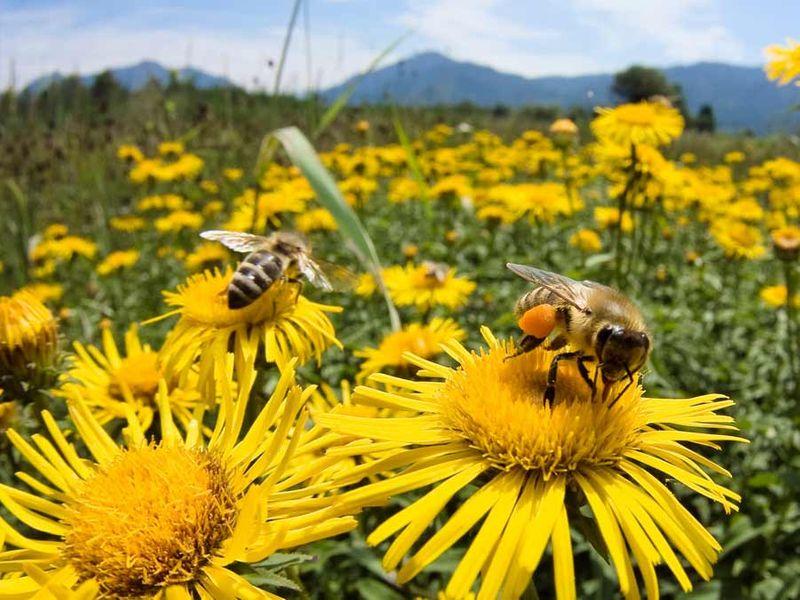 Nasiona Mieszanka roślin miododajnych Bee's Universe 1kg zdjęcie 5