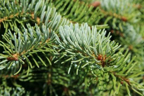 Świerk Serbski pospolity sadzonki od 30 do 50 cm na choinki lub ogrodu