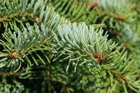 Świerk Serbski pospolity sadzonki od 40/70 cm na choinki lub ogrodu