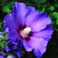 Hibiskus Niebiesko-fioletowy SADZONKA ODPORNA MRÓZ