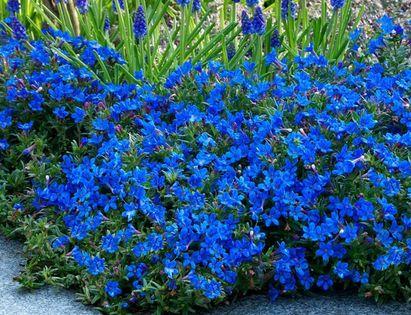 Litodora rozpostarta Heavenly Blue NIEBIESKI DYWAN