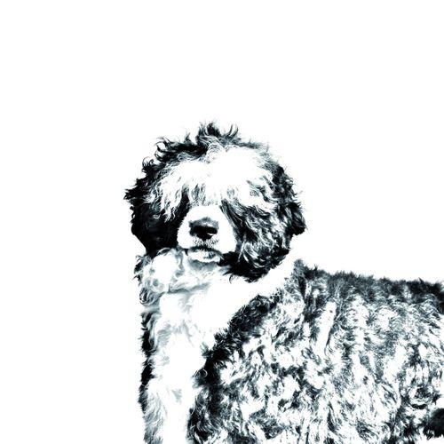 Portugalski pies dowodny- kolekcja breloków z wizerunkiem psa. Wyjątkowy prezent. na Arena.pl