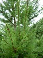 Daglezja Zielona sadzonki  30/60 cm idealna na Żywopłot