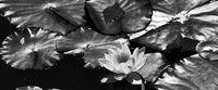 Lilia wodna na liściu Rozmiar - 120x50, Kolor - Czarno-biały