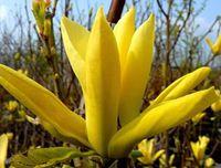 Magnolia YELLOW RIVER unikatowa ŻÓŁTA PIĘKNOŚĆ