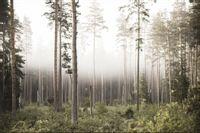 Fototapeta DRZEWA Las we mgle Natura do Sypialni 450x300