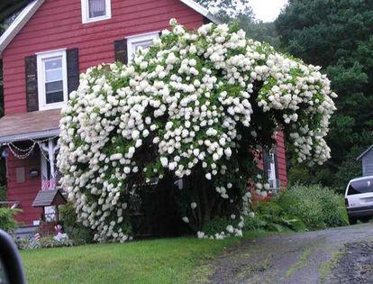 Hortensja bukietowa 'Grandiflora' PIĘKNOŚĆ DO OGRODU