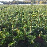 Jodła kaukaska sadzonki 6 letnia 30/50 cm na do ogrodu i na CHOINKI