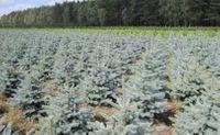 Świerk Srebrny Picea Pungens sadzonki 5 letnia do 30/60 cm