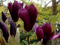 Magnolia NIGRA NAJCIEMNIEJSZE KWIATY Sadzonki