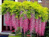 WISTERIA 'ROSEA' Najpiękniejsze pnącze świata !