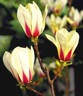 Magnolia ''SUNRISE' DWUKOLOROWA PIĘKNOŚĆ UNIKAT