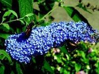 Budleja EMPIRE BLUE MOCNO NIEBIESKA Motyli krzew
