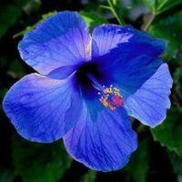 Hibiskus Niebieski odporna na mróz SADZONKA