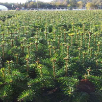 Jodła kaukaska sadzonki 4 letnia 20/30 cm na do ogrodu i na CHOINKI