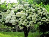 Hortensja PHANTOM Piękne śnieżnobiałe drzewko UNIKATOWA