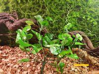 Bluszcz zwisający jasno-zielony 25cm ozdoba do terrarium