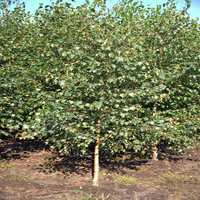 Brzoza Brodawkowata sadzonki 40-60 cm