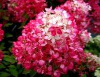 Wspaniała hortensja DIAMANT ROUGE ładne sadzonki