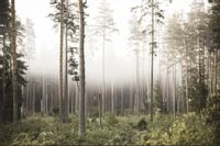 Fototapeta DRZEWA Las we mgle Natura do Sypialni 360x240