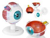Oko - model anatomiczny Physa PHY-EB-1