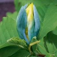 Magnolia BLUE OPAL NIEBIESKIE kwiaty ILOŚC OGRANICZONA NOWOŚĆ