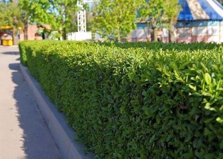 LAUROWIŚNIA WSCHODNIA NOVITA sadzonki 40-60 cm idealna na Żywopłot