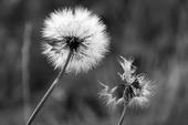 Czarno biały dmuchawiec Rozmiar - 60x40