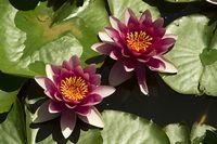 Lilie na listkach Rozmiar - 40x26, Kolor - Kolor