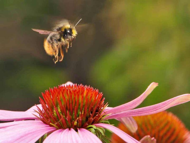 Nasiona Mieszanka roślin miododajnych Bee's Universe 1kg zdjęcie 3